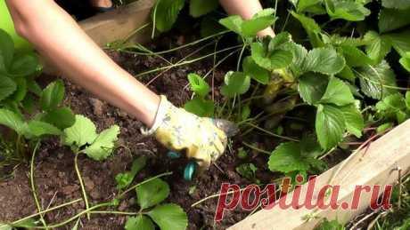«Шпаргалка» по подкормке клубники после сбора урожая, чтобы в следующем году он был ещё больше
