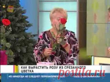 How to grow up a rose from a cut flower? - Yandex. Video