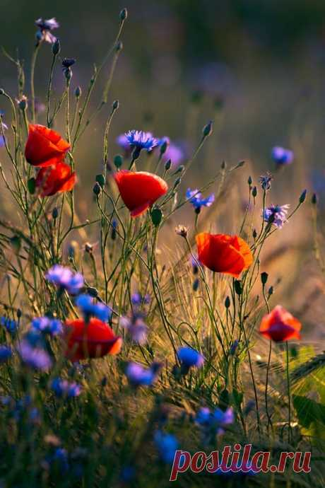 (1) Poppies and cornflowers | Poppies and cornflowers in wheat field against the evening sun. | Meadows&Wildflowers