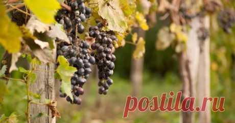 Чем подкормить виноград осенью перед обрезкой и укрытием Эту популярную культуру удобряют осенью, начиная с третьего года жизни. Мы расскажем, чем подкормить виноград перед зимой, чтобы в следующем сезоне на нем сформировались увесистые грозди сочных ягод.
