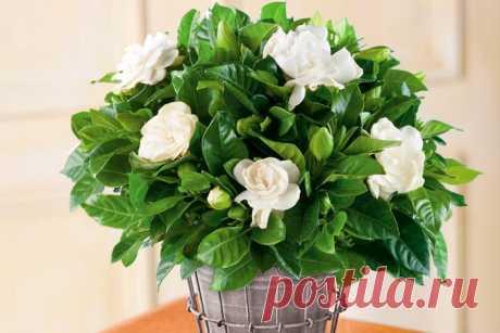Уход за гарденией в домашних условиях, фото цветка, пересадка и размножение