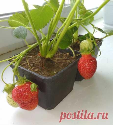 Выращивание клубники в квартире | ПлодоВито | Яндекс Дзен