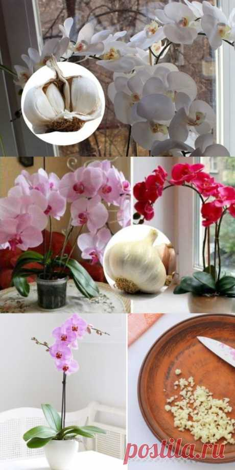 Garlic rescue for orchids! In my month falenopsis let out a little