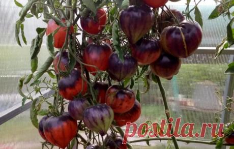 Три сорта помидор, которые я обязательно куплю в следующем сезоне Я обязательно куплю эти 3 сорта помидор в следующем году!