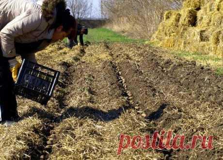 La cultivación de las patatas: las patatas bajo la paja