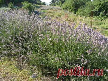 Засухоустойчивые растения для клумб и цветников: фото, описания