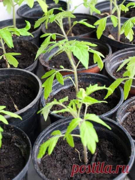 3 народных способа сделают рассаду помидоров богатырской | Идеальный огород | Яндекс Дзен