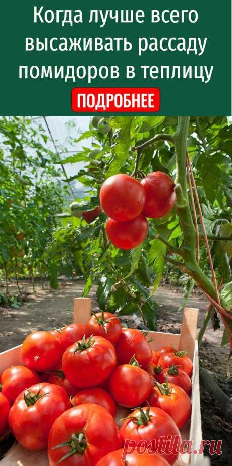 Когда лучше всего высаживать рассаду помидоров в теплицу
