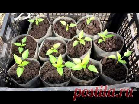 Когда  высаживать болгарский перец  на рассаду