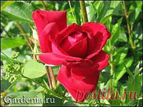 Розы: черенкование осенью