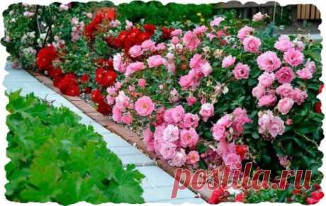 That Roza worried winter on a bed. It is necessary... | Garden and kitchen garden | Yandex Zen