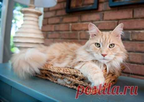 Три самые популярные породы кошек в России | PetTips