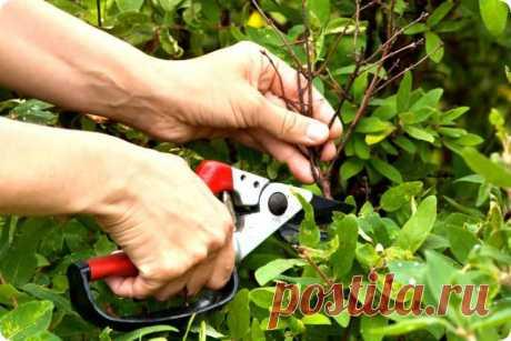 Осенняя обрезка жимолости – правильное выполнение процедуры для начинающих Жимолость – растение, которое любят многие садоводы за его неприхотливость, оно не нуждается в сложном уходе, кроме проведения своевременной обрезки. С