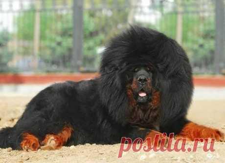 Знакомьтесь! Тибетский мастиф   Тибетский мастиф– древняя и довольно редкая порода собак, сохранившая свои первозданные черты благодаря географической изоляции государства, в котором зародилась. Собака была сторожем в тибетских мо…