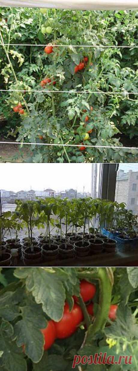 Выращивание помидор на Урале - Твой огород