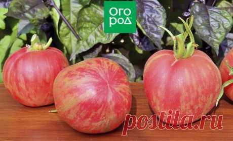 Пушистые сорта томатов – 7 вариантов для теплицы и открытого грунта | На грядке (Огород.ru)