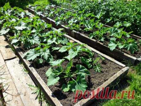 Кабачки: посадка семенами в открытый грунт и уход, выращивание рассады