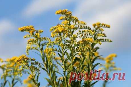 Для здоровья почек - золотой цветочек... (о пользе золотарника)   Дары природы.су   Яндекс Дзен