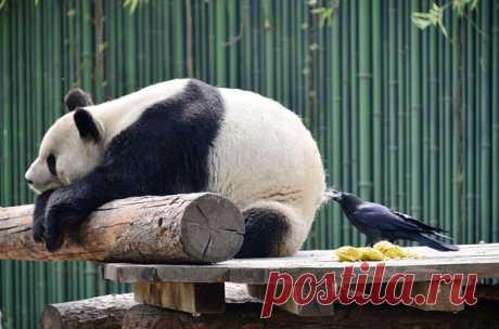 Ворона выщипывает мех у панды, Пекинский зоопарк, Китай