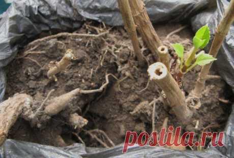 Como criar las dalias de las semillas y los tubérculos – los especialistas comparten los secretos