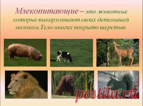 Презентация Млекопитающие, животные (1 класс) для урока окружающего мира