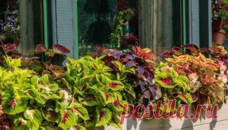 Возвращение комнатных колеусов, или Новая жизнь декоративной крапивки. Уход в комнатных условиях. Фото — Ботаничка.ru