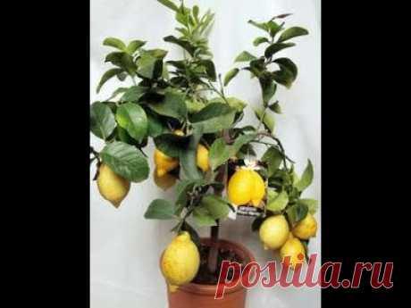 Укоренение черенков цитрусовых