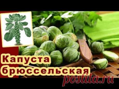 Брюссельская капуста. Выращивание капусты в открытом грунте. Сорта капусты. Видео - YouTube