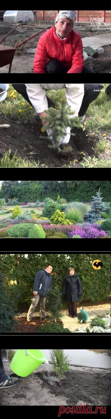 """Поздняя посадка хвойных растений Посадка на глине.Сайт """"Садовый мир"""" - YouTube"""