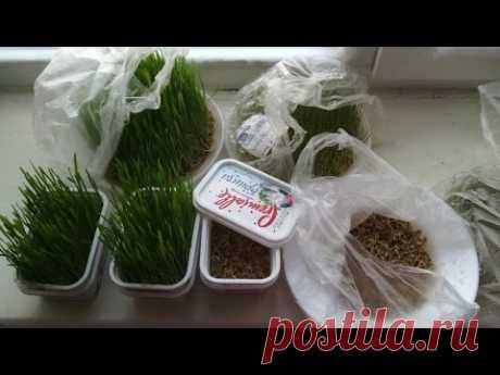 Витграсс. Как сделать проращиватель семян бесплатно. - YouTube