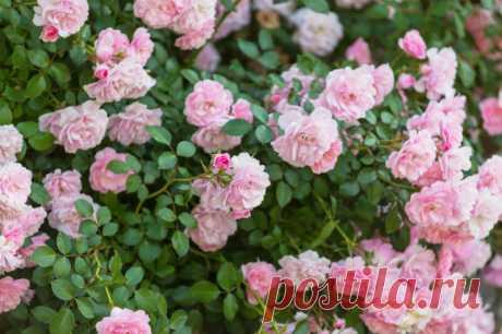 Как я делаю, чтобы розы вились по арке – тонкости ухода за цветами   Идеальный огород   Яндекс Дзен