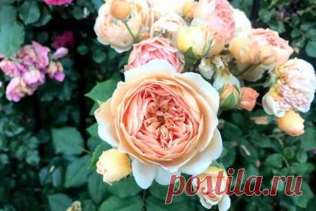 Розы   В огороде лебеда.