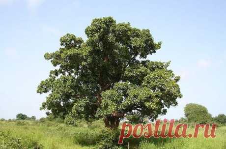 Необычное дерево ши – интересные факты, применение, вред, польза - Море Фактов