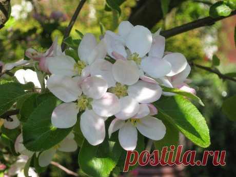 Apple Blossom Плодовых Деревьев - Бесплатное фото на Pixabay