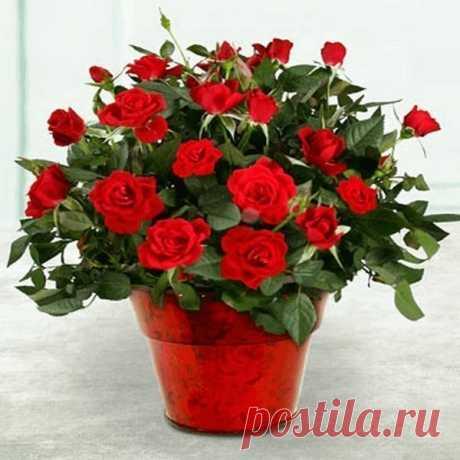 Почему часто роза погибает после покупки? (как этого избежать)