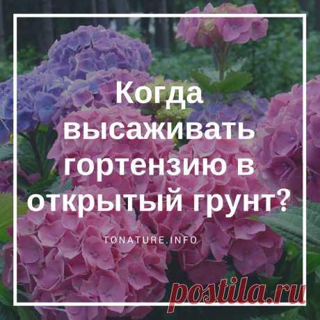 КОГДА ВЫСАЖИВАТЬ ГОРТЕНЗИЮ В ОТКРЫТЫЙ ГРУНТ?  #toNatureInfo #КомнатныеРастения #Гортензия #Растения #Цветы #ВыращиваниеГортензии #Пересадка #Высадка #ОткрытыйГрунт #Сад #Дача