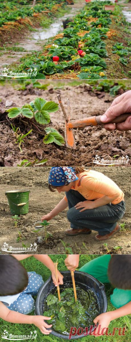 Как правильно ухаживать за клубникой, чтобы получить богатый урожай