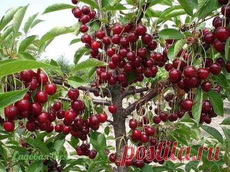 Than to feed up cherry? \u000d\u000a\u000d\u000a\u000d\u000a\u000d\u000a\u000d\u000a\u000d\u000a\u000d\u000a\u000d\u000a\u000d\u000a\u000d\u000aThan to feed up cherry? Top dressing in the spring - ashes, on a one-liter jar, on the damp soil, on krone perimeter, 1 tablespoon of urea and 2 table l …