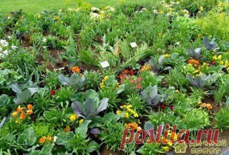Растения отпугивающие вредителей на огороде - Дачный совет Сельдерей, базилик.Отпугивают комаров, капустницу, мух от капустных культур. Хрен.Отпугивает нарывников, картофельных клопов. Редька.Действует на листоедов