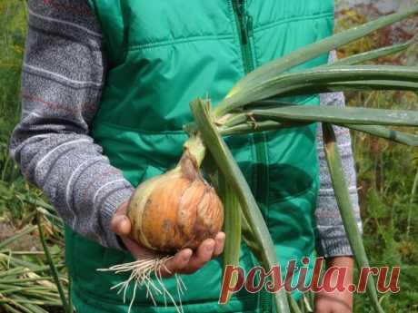 Хотите вырастить крупный лук? Не сажайте севок - вместо него разрежьте взрослые репки   Наша Дача   Яндекс Дзен
