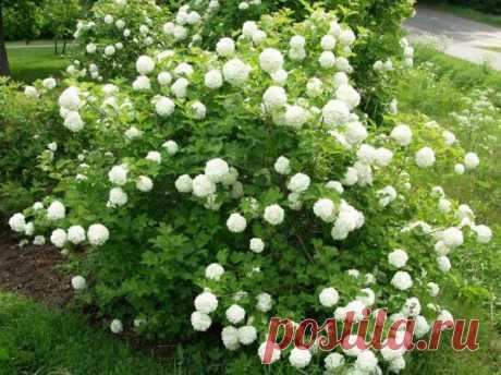 Красивоцветущие кустарники - калина бульденеж, гортензия, рододендрон, форзиция, сирень, роза.