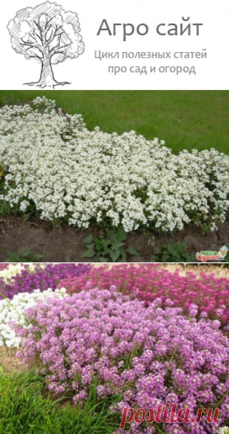 Алиссум - выращивание из семян, когда сажать в открытый грунт