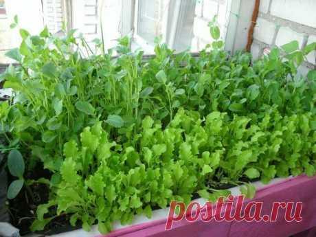 Руккола на подоконнике: выращиваем из семян дома