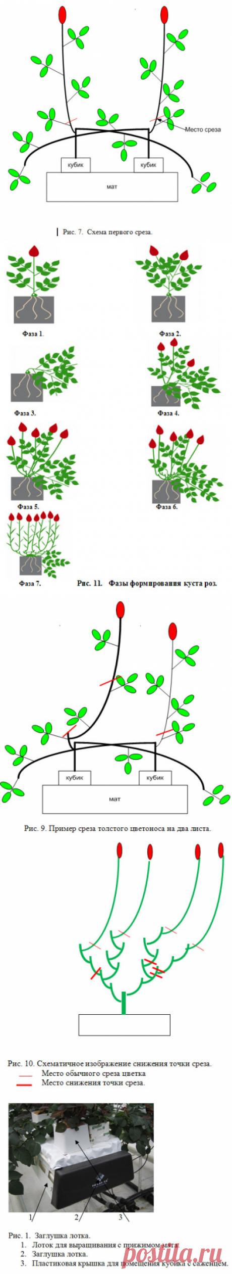 Выращивание роз на срез - Технологии выращивания роз, срезка и хранение - Портал о теплицах