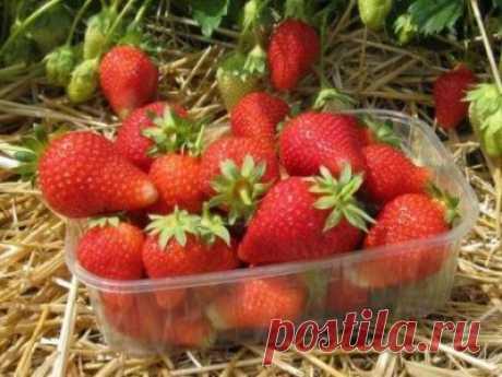 Сорт клубники Альба, описание, агротехника, выращивание, уход