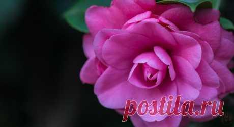 О роза! Ты прекрасна! Ты свет зари и солнца ясного. Ты жизни свет и свет России. Среди цветов ты всех красивей. Ты красотой своей пленяешь. С тобой живешь и бед не знаешь.