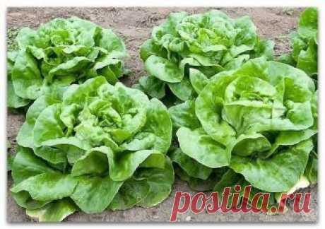Кочанные и полукочанные салаты. Особенности ухода  Все салаты, развивающиеся не просто в форме розеток из листьев, а формирующие головки различной плотности принято называть кочанными (иногда более рыхлые, неплотные салаты этой группы причисляют к полукочанным, но существенной разницы между ними нет). Для кочанных салатов характерна маслянисто-хрустящая зелень. Несмотря на большую плотность листьев, они так же нежны на вкус, как и листовые салаты.  Использование в кулинари...
