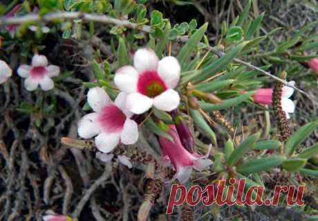 Пахиподиум: виды и сорта, уход в домашних условиях, выращивание из семян. Фото пахиподиума.