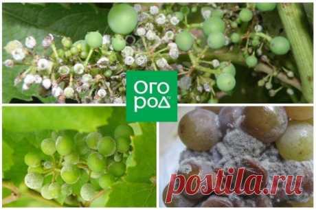 Уход за виноградом в августе: 4 самые важные процедуры   Виноград (Огород.ru)
