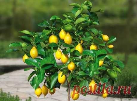 Как вырастить щедрый, комнатный лимон (личный опыт) | Все о домашних цветах | Яндекс Дзен